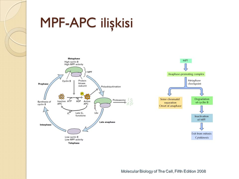 MPF-APC ilişkisi
