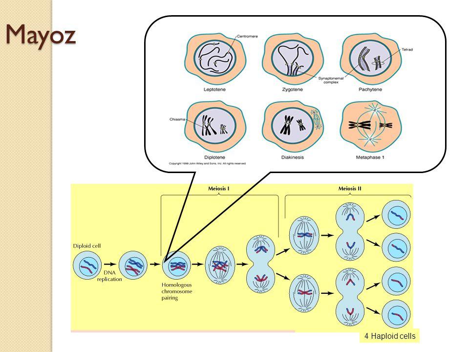Mayoz 4 Haploid cells