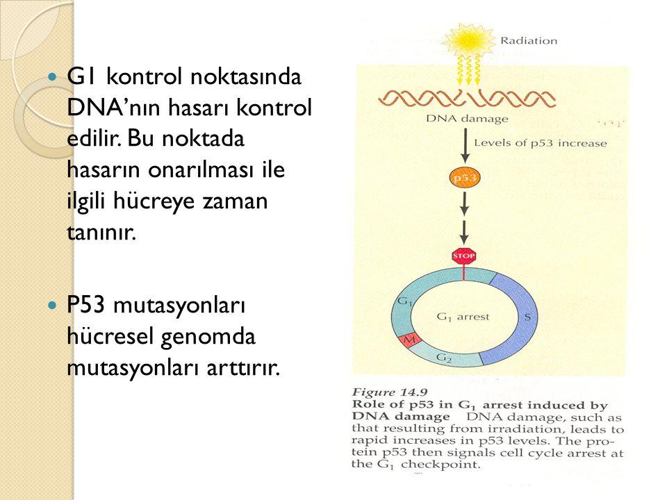 G1 kontrol noktasında DNA'nın hasarı kontrol edilir