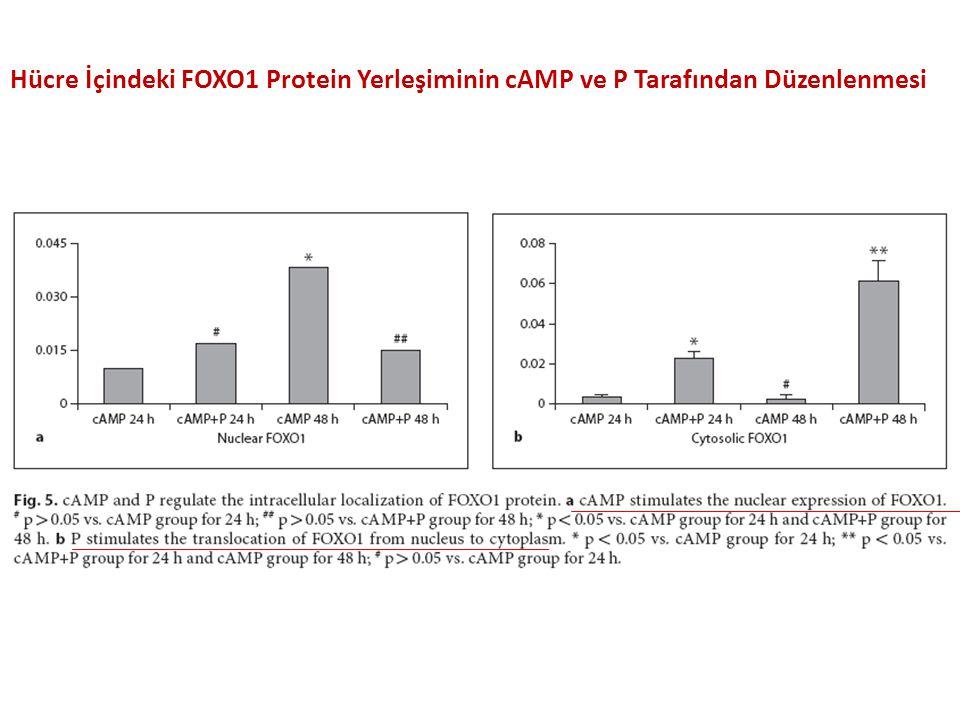 Hücre İçindeki FOXO1 Protein Yerleşiminin cAMP ve P Tarafından Düzenlenmesi