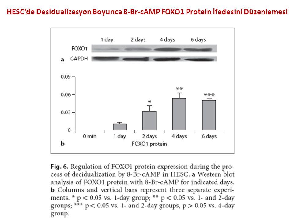 HESC'de Desidualizasyon Boyunca 8-Br-cAMP FOXO1 Protein İfadesini Düzenlemesi