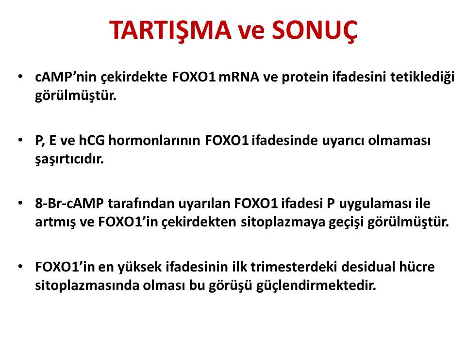 TARTIŞMA ve SONUÇ cAMP'nin çekirdekte FOXO1 mRNA ve protein ifadesini tetiklediği görülmüştür.