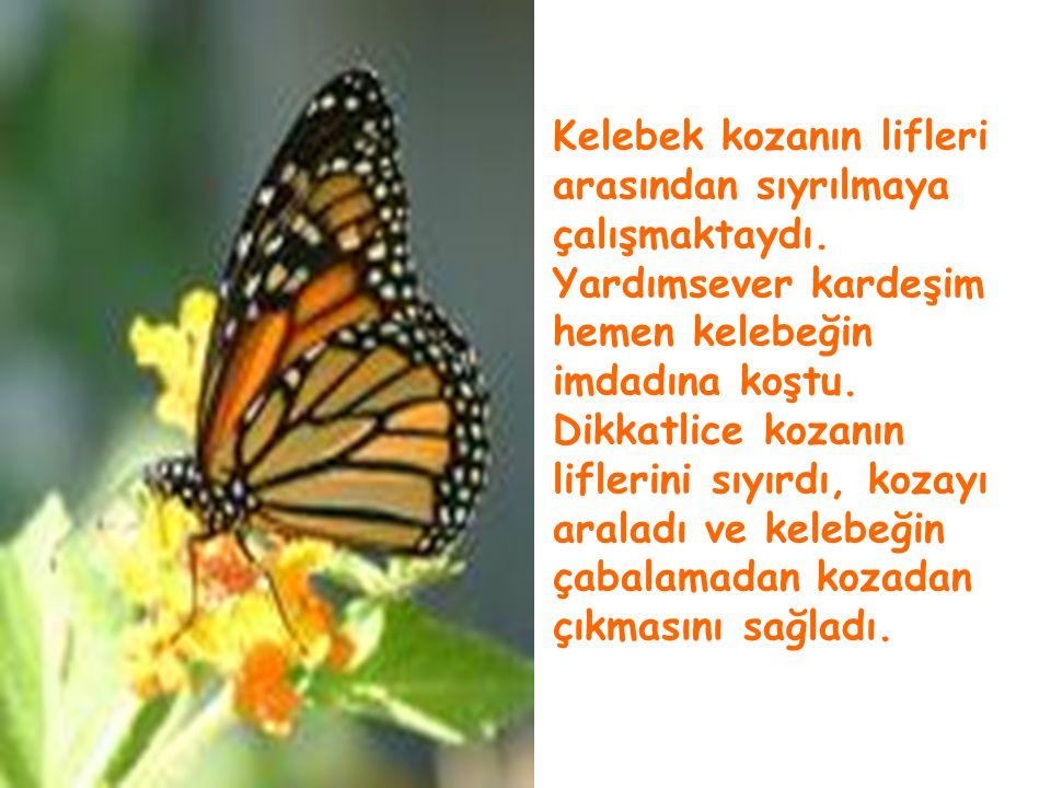 Kelebek kozanın lifleri arasından sıyrılmaya çalışmaktaydı
