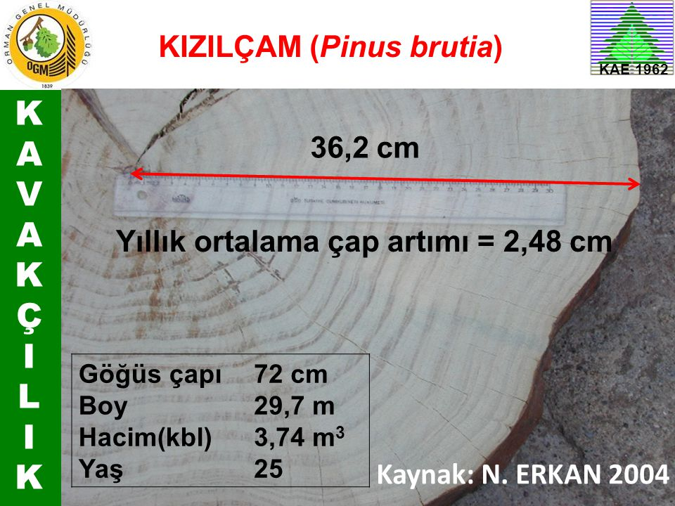 K A V Ç I L KIZILÇAM (Pinus brutia) 36,2 cm