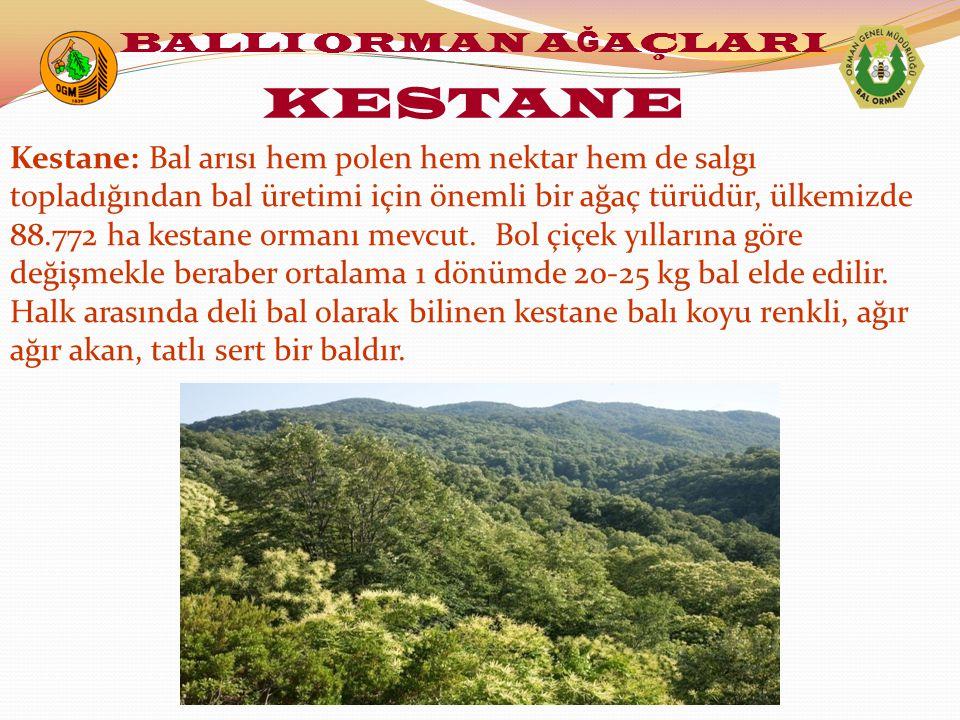 BALLI ORMAN AĞAÇLARI KESTANE