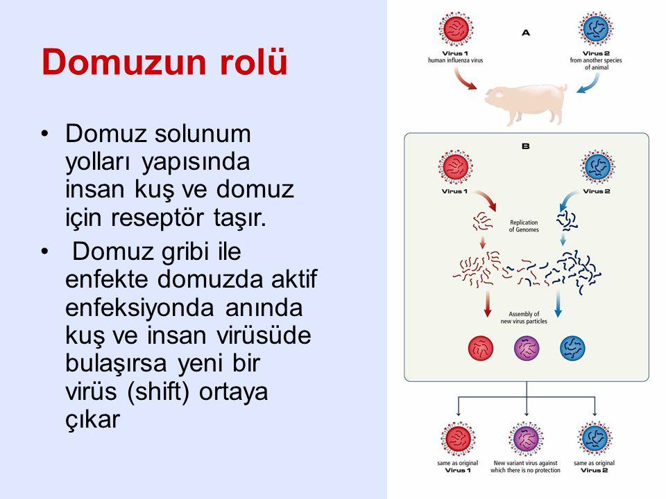 Domuzun rolü Domuz solunum yolları yapısında insan kuş ve domuz için reseptör taşır.