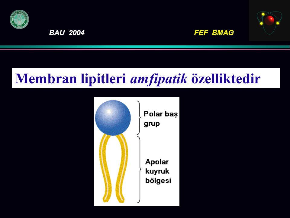 Membran lipitleri amfipatik özelliktedir