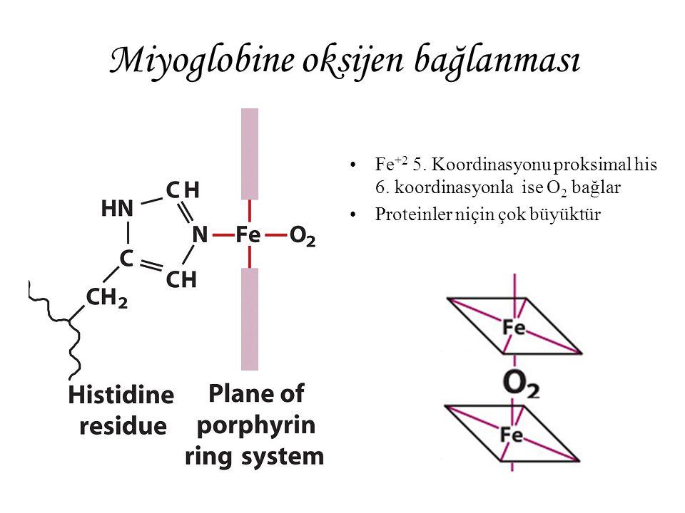 Miyoglobine oksijen bağlanması