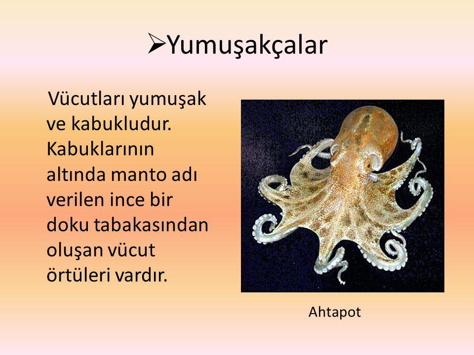 Yumuşakçalar Vücutları yumuşak ve kabukludur. Kabuklarının altında manto adı verilen ince bir doku tabakasından oluşan vücut örtüleri vardır.