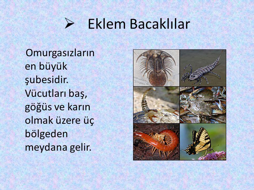 Eklem Bacaklılar Omurgasızların en büyük şubesidir.