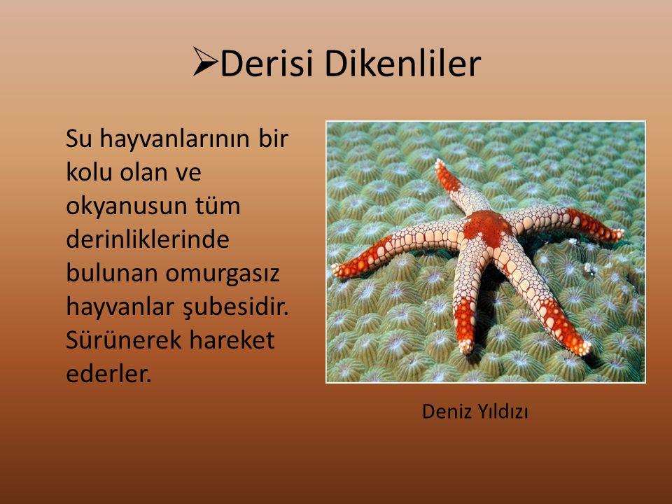 Derisi Dikenliler Su hayvanlarının bir kolu olan ve okyanusun tüm derinliklerinde bulunan omurgasız hayvanlar şubesidir. Sürünerek hareket ederler.