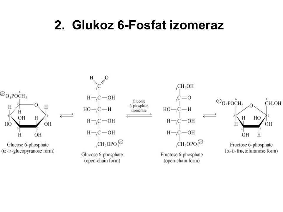 2. Glukoz 6-Fosfat izomeraz