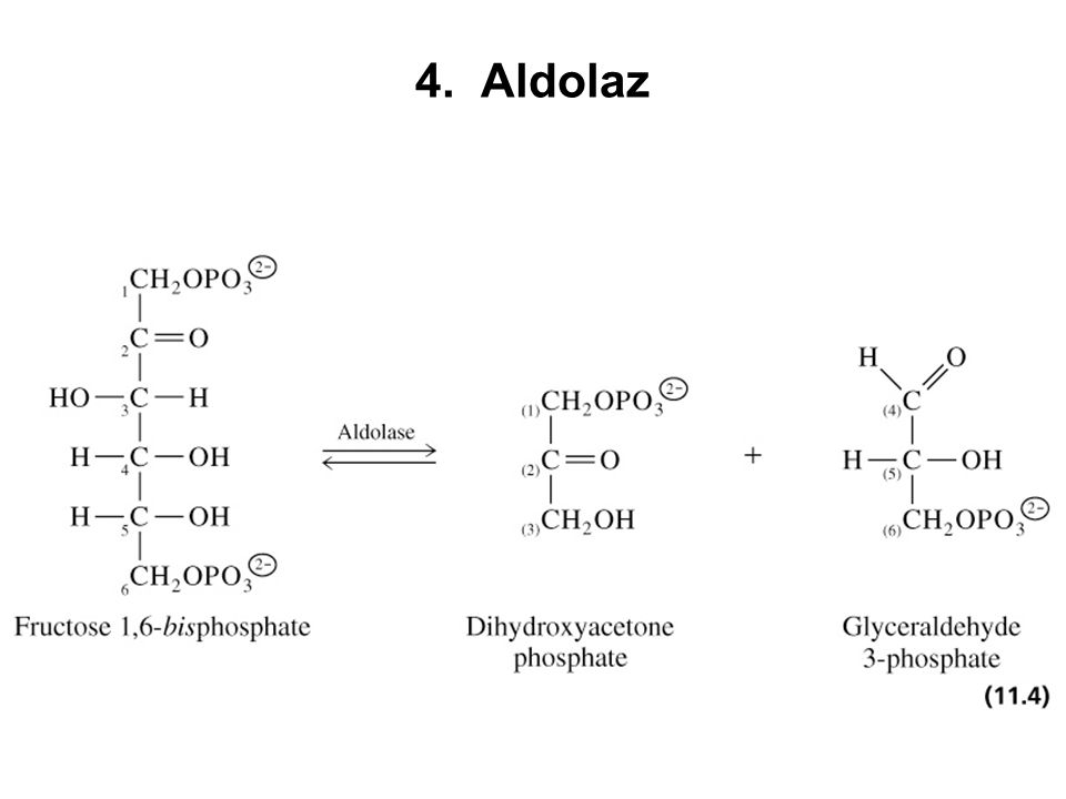 4. Aldolaz