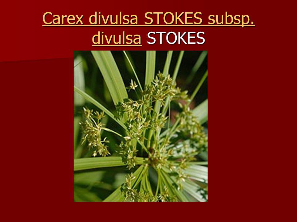 Carex divulsa STOKES subsp. divulsa STOKES