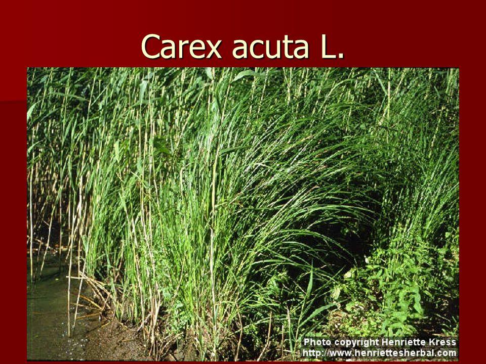 Carex acuta L.