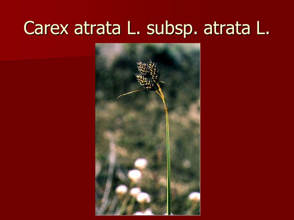 Carex atrata L. subsp. atrata L.