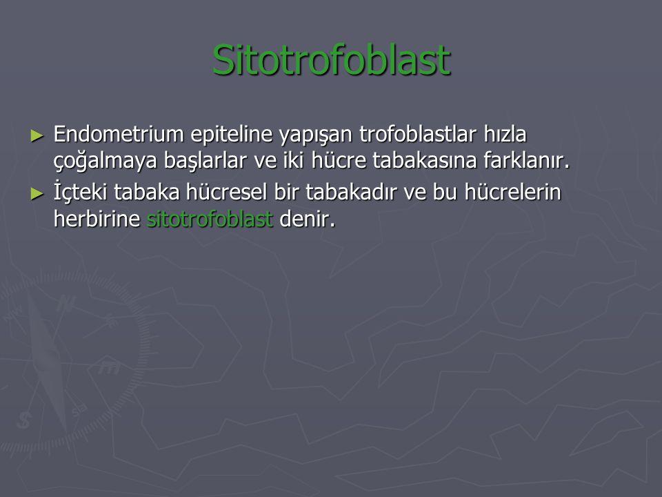 Sitotrofoblast Endometrium epiteline yapışan trofoblastlar hızla çoğalmaya başlarlar ve iki hücre tabakasına farklanır.