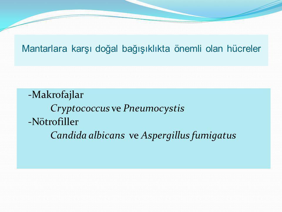 Mantarlara karşı doğal bağışıklıkta önemli olan hücreler