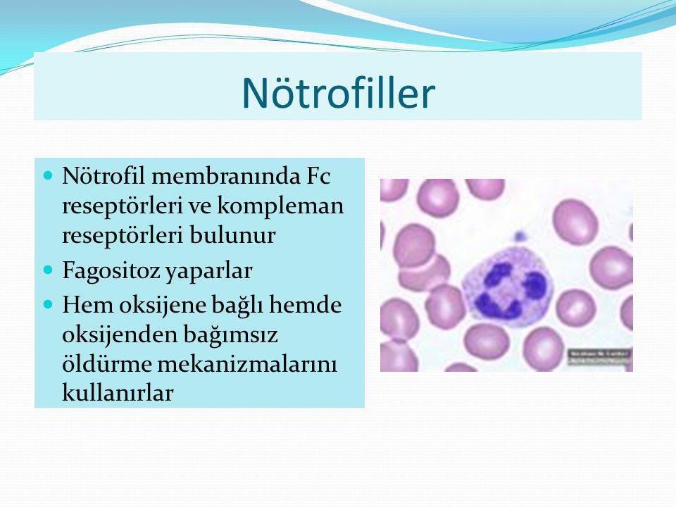 Nötrofiller Nötrofil membranında Fc reseptörleri ve kompleman reseptörleri bulunur. Fagositoz yaparlar.