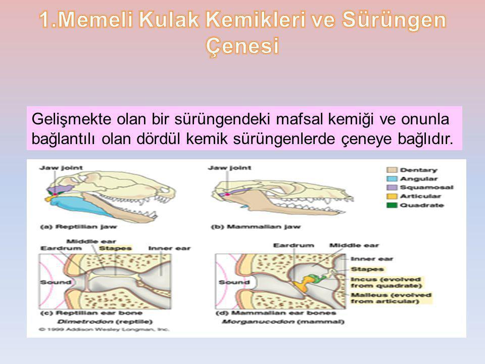 1.Memeli Kulak Kemikleri ve Sürüngen Çenesi