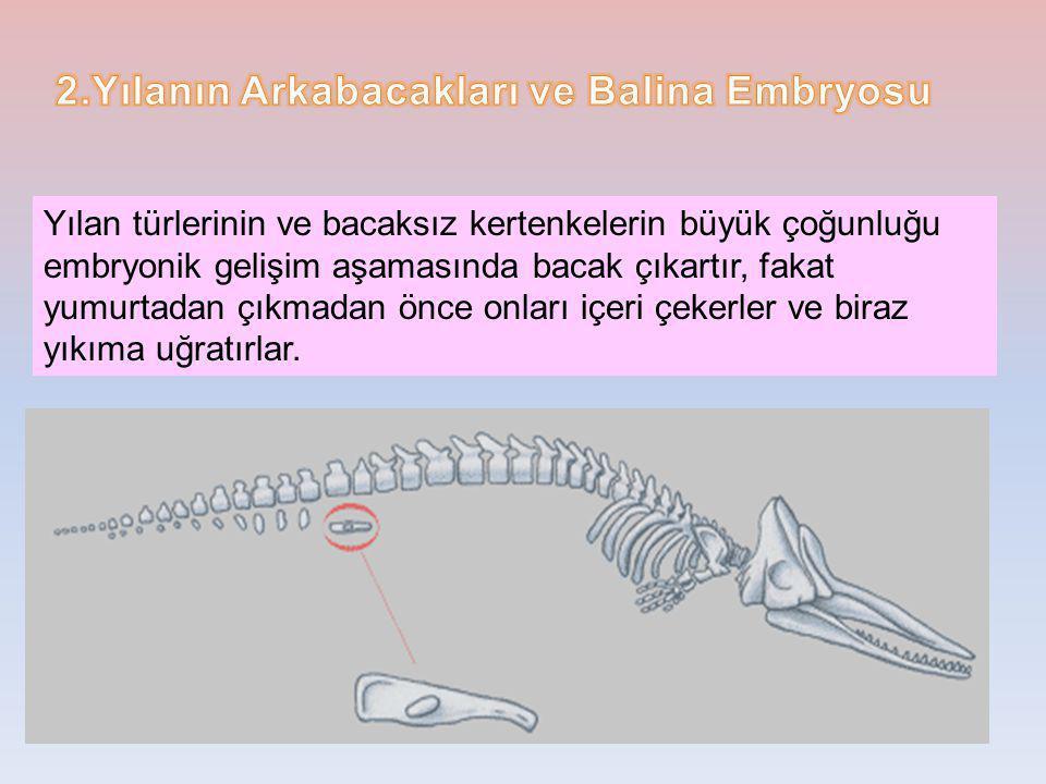 2.Yılanın Arkabacakları ve Balina Embryosu