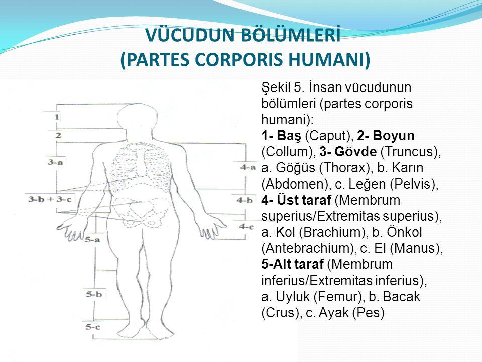 VÜCUDUN BÖLÜMLERİ (PARTES CORPORIS HUMANI)