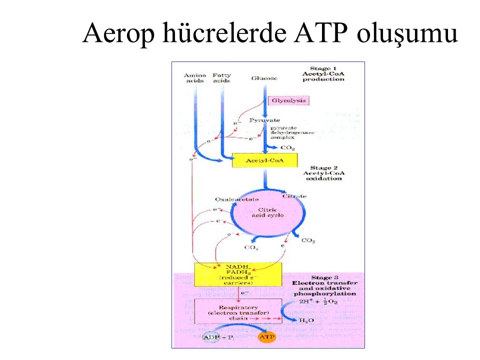 Aerop hücrelerde ATP oluşumu