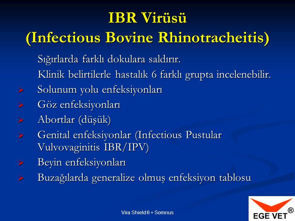 IBR Virüsü (Infectious Bovine Rhinotracheitis)