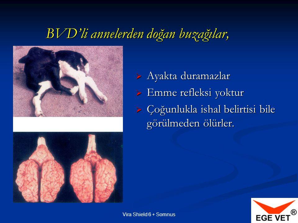 BVD'li annelerden doğan buzağılar,