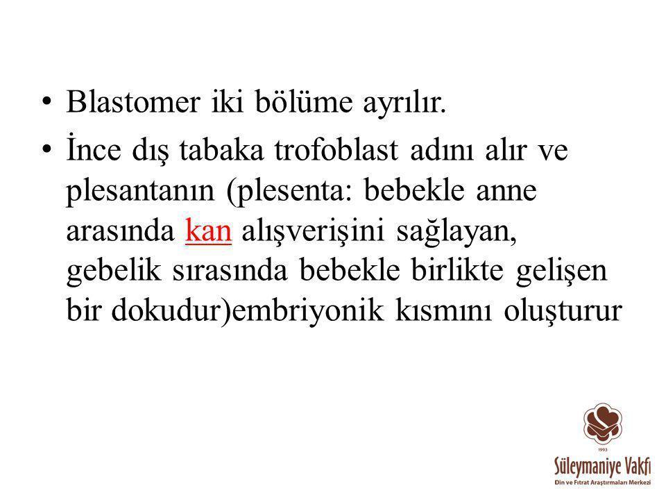 Blastomer iki bölüme ayrılır.