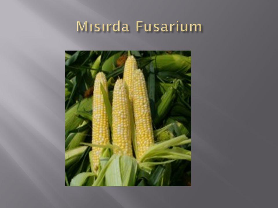 Mısırda Fusarium