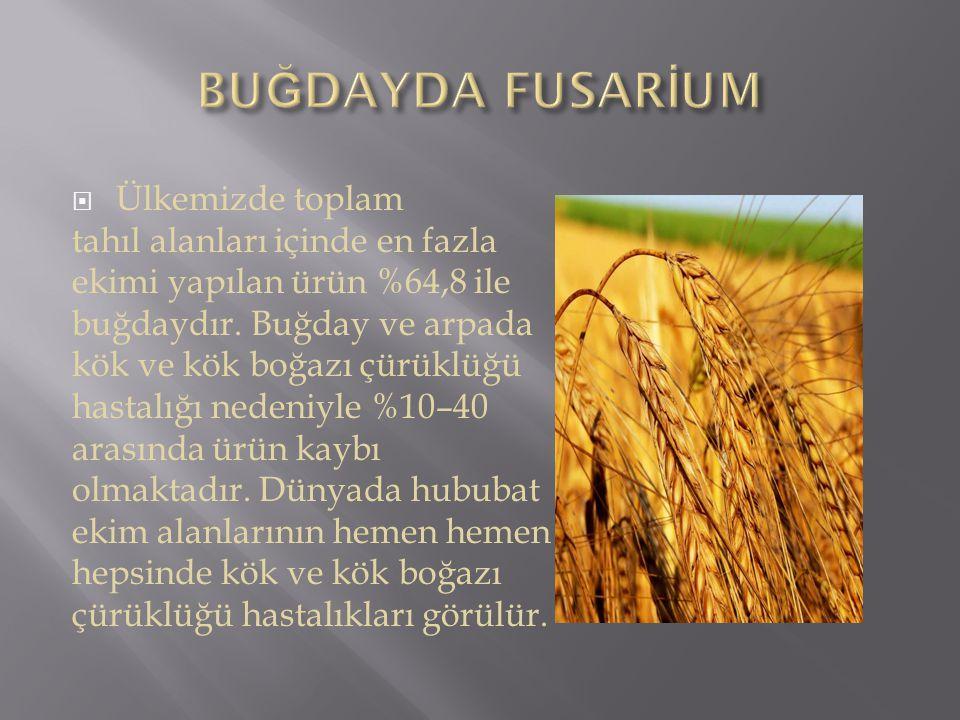 BUĞDAYDA FUSARİUM Ülkemizde toplam tahıl alanları içinde en fazla