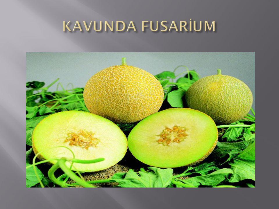 KAVUNDA FUSARİUM