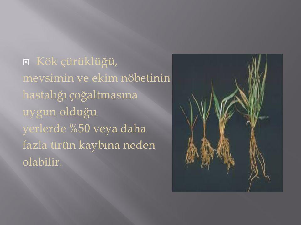 Kök çürüklüğü, mevsimin ve ekim nöbetinin. hastalığı çoğaltmasına. uygun olduğu. yerlerde %50 veya daha.
