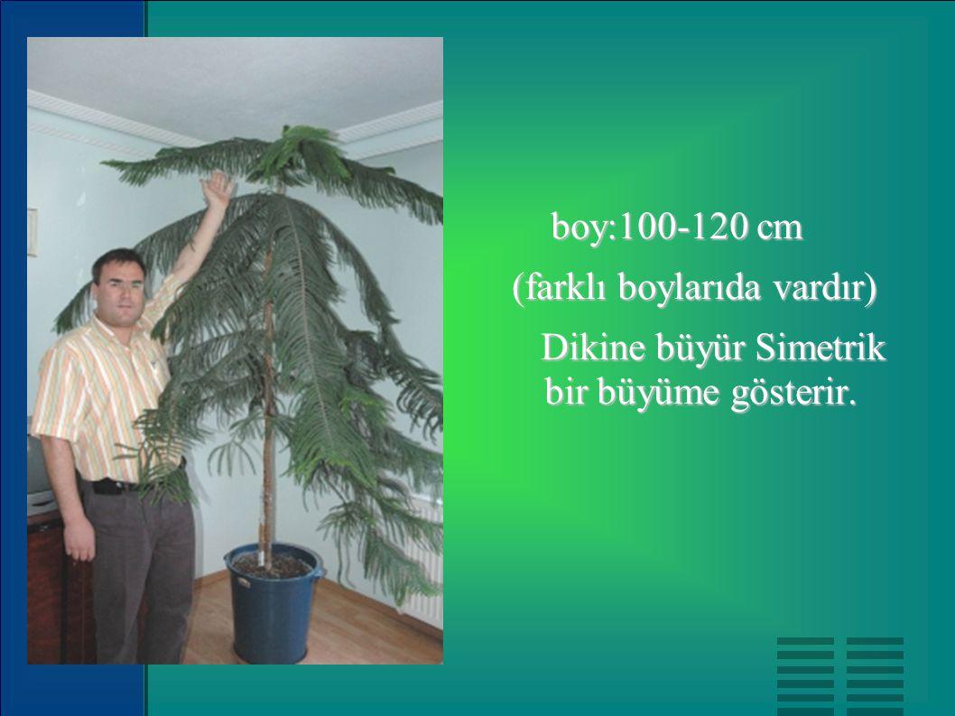 boy:100-120 cm (farklı boylarıda vardır) Dikine büyür Simetrik bir büyüme gösterir.