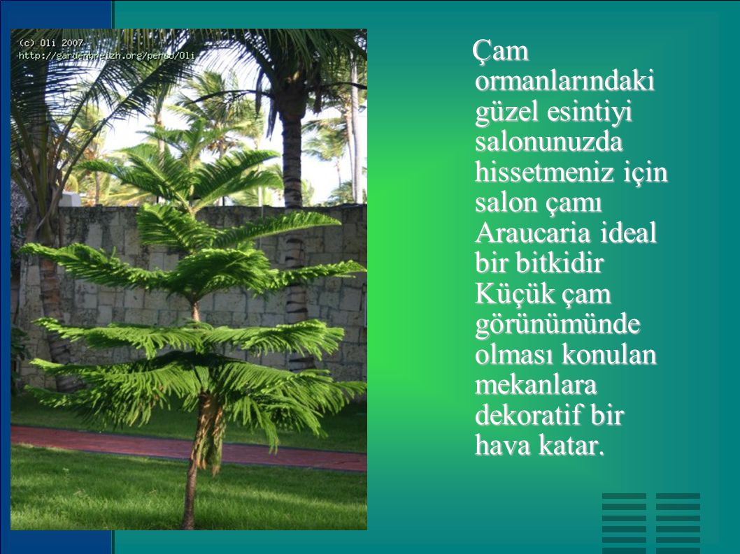 Çam ormanlarındaki güzel esintiyi salonunuzda hissetmeniz için salon çamı Araucaria ideal bir bitkidir Küçük çam görünümünde olması konulan mekanlara dekoratif bir hava katar.