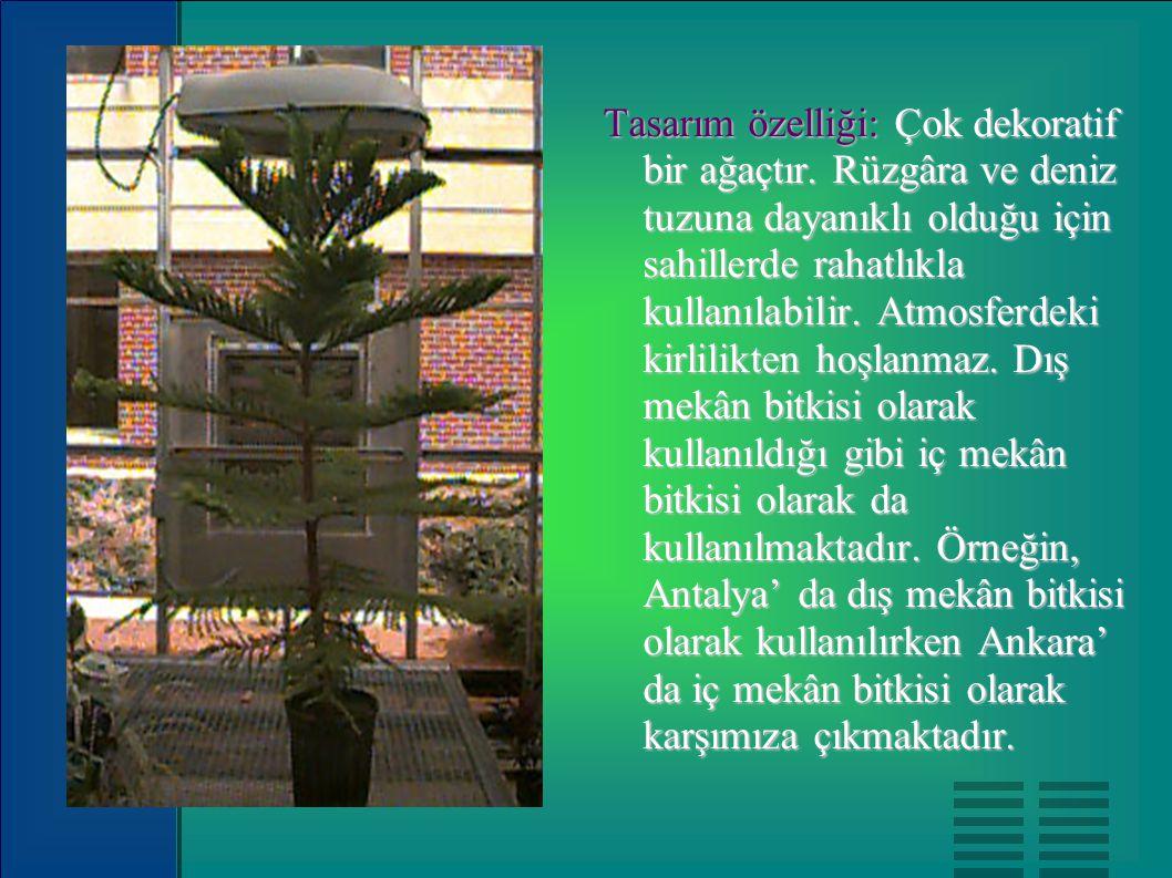 Tasarım özelliği: Çok dekoratif bir ağaçtır