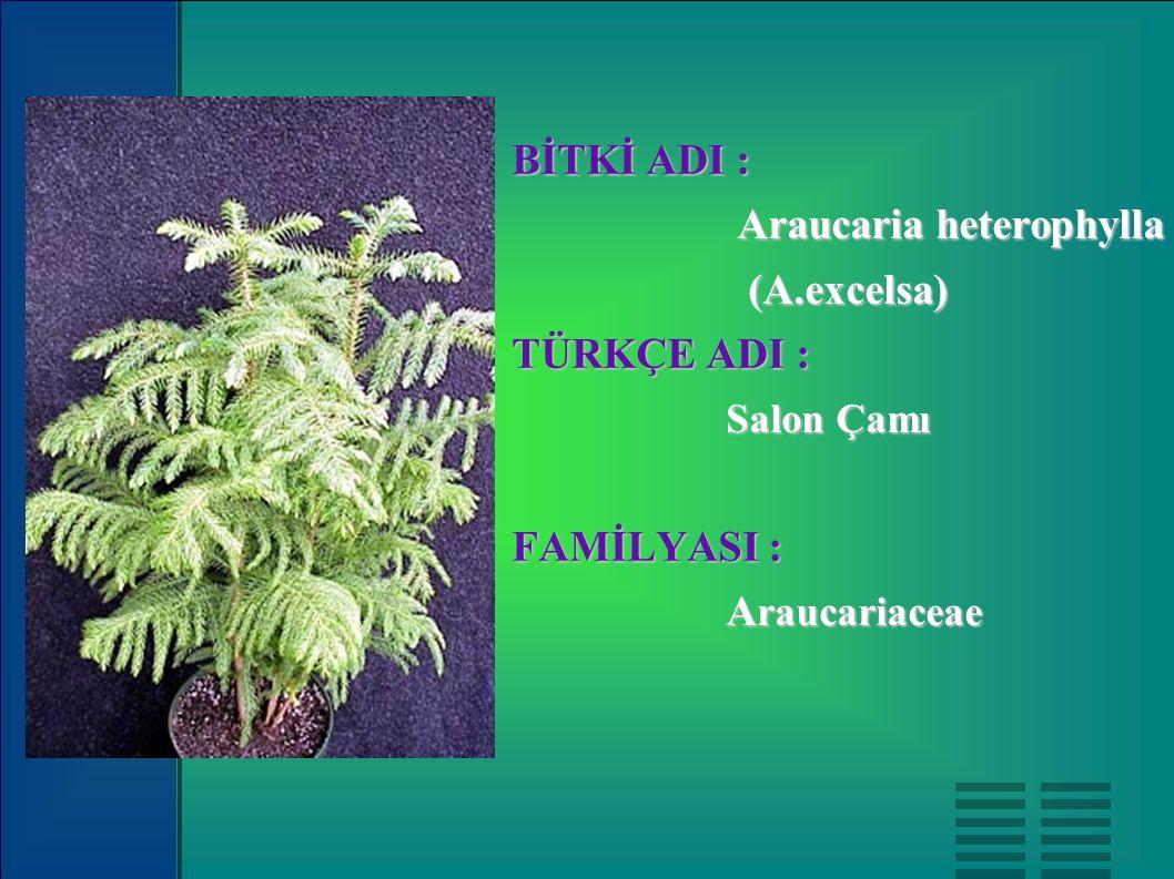 BİTKİ ADI : Araucaria heterophylla (A.excelsa) TÜRKÇE ADI : Salon Çamı FAMİLYASI : Araucariaceae
