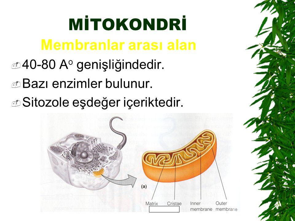 MİTOKONDRİ 40-80 Ao genişliğindedir. Bazı enzimler bulunur.