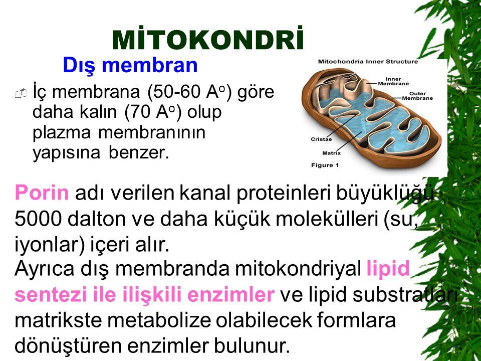 MİTOKONDRİ Dış membran