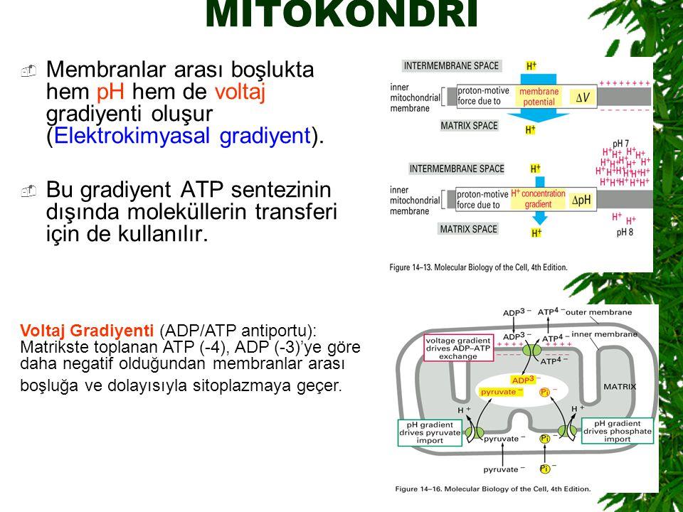 MİTOKONDRİ Membranlar arası boşlukta hem pH hem de voltaj gradiyenti oluşur (Elektrokimyasal gradiyent).