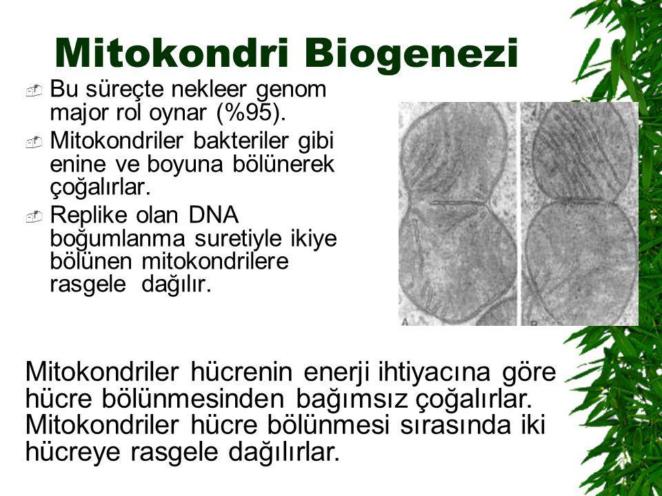 Mitokondri Biogenezi Bu süreçte nekleer genom major rol oynar (%95). Mitokondriler bakteriler gibi enine ve boyuna bölünerek çoğalırlar.