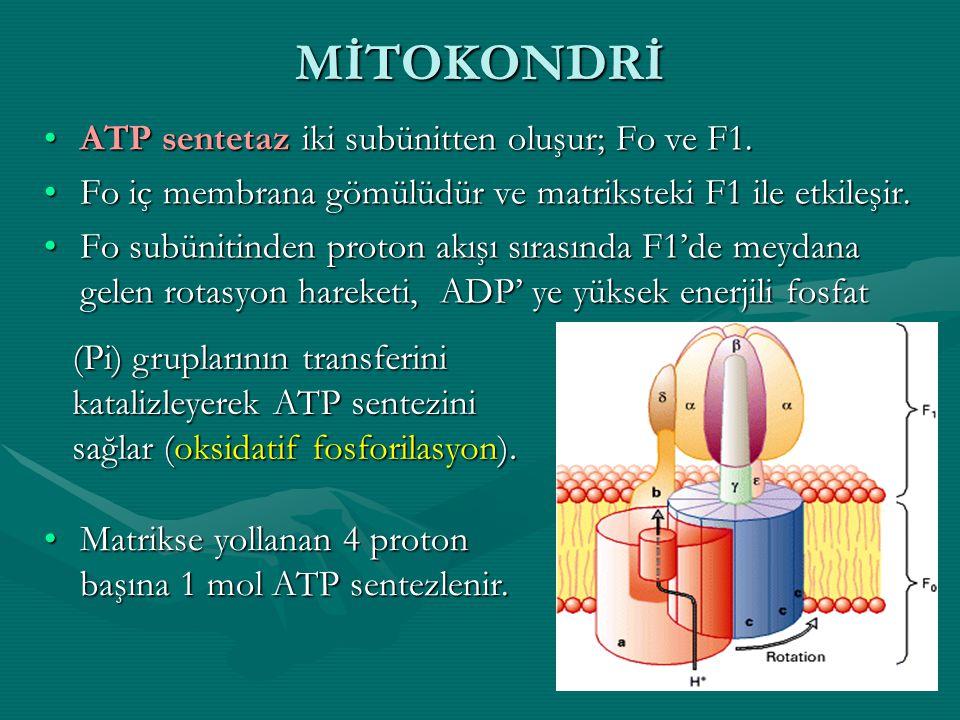 MİTOKONDRİ ATP sentetaz iki subünitten oluşur; Fo ve F1.