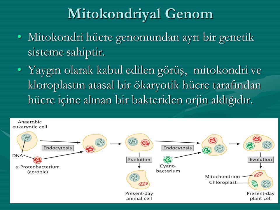 Mitokondriyal Genom Mitokondri hücre genomundan ayrı bir genetik sisteme sahiptir.