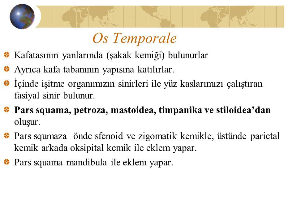 Os Temporale Kafatasının yanlarında (şakak kemiği) bulunurlar