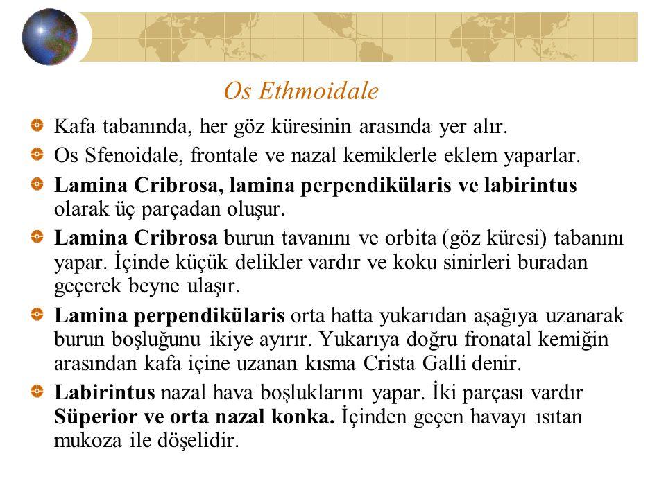 Os Ethmoidale Kafa tabanında, her göz küresinin arasında yer alır.