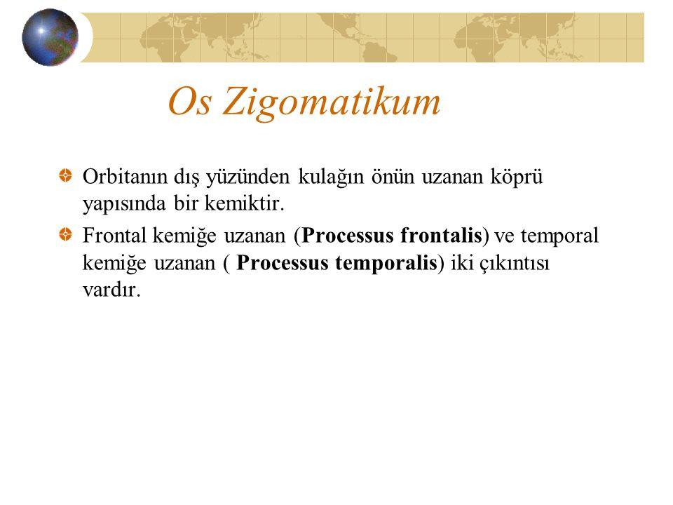 Os Zigomatikum Orbitanın dış yüzünden kulağın önün uzanan köprü yapısında bir kemiktir.