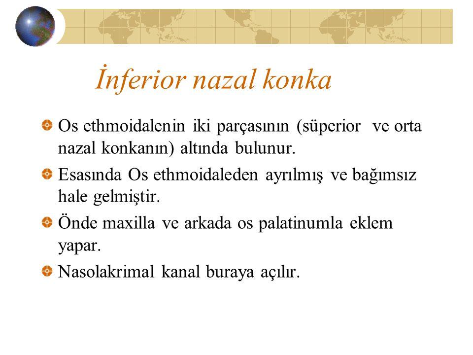 İnferior nazal konka Os ethmoidalenin iki parçasının (süperior ve orta nazal konkanın) altında bulunur.