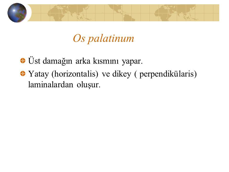 Os palatinum Üst damağın arka kısmını yapar.