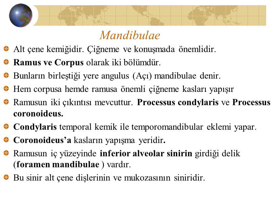 Mandibulae Alt çene kemiğidir. Çiğneme ve konuşmada önemlidir.